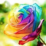 Kisshes Seedhouse - rare 30/50pcs graines de rosier multicolor La rose(Rosa) Le rosier Tequila arc en ciel/bicolore résistant au froid