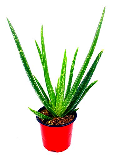 echte Aloe vera Pflanze,
