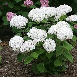 Hydrangea-Invincibelle-Wee-White - QT Pot (Shrub)