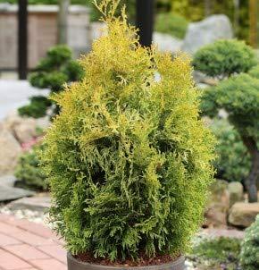 Lebensbaum Golden Smaragd 20-30cm - Thuja occidentalis