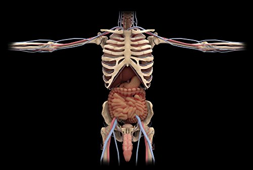 The Poster Corp Stocktrek Images – 3D Rendering of Digestive System and Male reproductive System. Photo Print (43,18 x 28,96 cm)