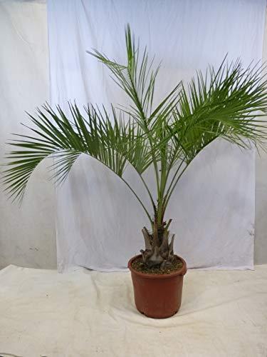 [Palmenlager] Butia capitata - Geleepalme - 150 cm - dicker Stamm 30 cm / -15°C Frost