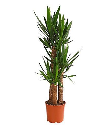 Dehner Yucca-Palme, dreitriebig, ca. 110-120 cm, Ø Topf 21 cm, Zimmerpalme