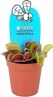 Planta carnívora Dionaea muscipula 9 cm