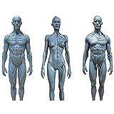 3 PCS Macho y Hembra Anatomía Figura Humano Esqueleto Modelo Anatómico Anatomía Skull Sculpture Cuerpo Músculo Músculo Kit Modelo Humano Modelo Craft Referencia para Artistas