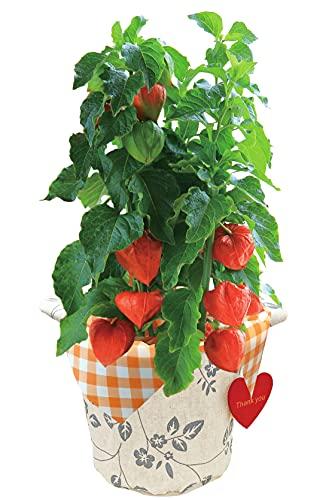 花のギフト社 ほおずき鉢植え ほおずきの鉢植え ホオズキ鉢植え ほおずき 鉢花 花鉢 フラワーギフト