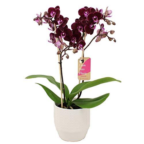 Orchidee von FAIR FLORA – Schmetterlingsorchidee in weißem Keramik Übertopf 'Eline' als Set – Höhe: 50 cm, 2 Triebe – Phalaenopsis Multiflora Harlekijn