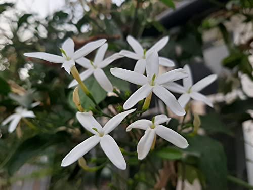 Jasminum officinale (Summer,Poet's, White,True Jasmine) - 1 Healthy Plant.