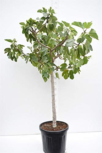 Ficus carica Brown Turkey - Feigenbaum - essbare Früchte - Gesamthöhe 160-180 cm - Stamm 80-90 cm - Topf Ø 45cm - Speditionsversand