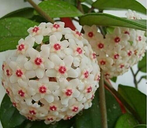 Hoya bloemen, bonsai bloempotten planten hoya planten, orchidee plant DIY home tuin 100 deeltjes/lot: 4