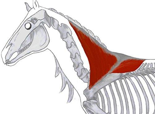 Lernkarten - Muskulatur des Pferdes - Physiotherapie