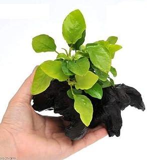 (水草)アヌビアスナナ ゴールデン 流木付 Sサイズ(1本)(約15cm)