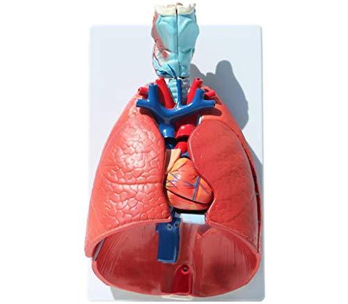 WWKA Human Heart Anatomical Anatomy Teaching Model Viscera Medical Organ Model Emulational + Stand Medical Science Teaching Resources LLAN