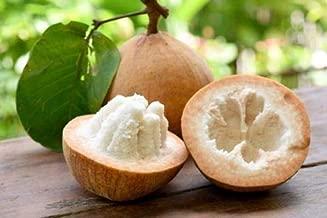 Handama HATCHMATIC OKINAWA SPINACH Edible Gynura crepioides//Okinawan