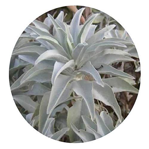 Oce180anYLVUK Weißer Salbei Samen, 200 Stück Beutel Mehrjährige Weiße Salbei Samen Multifunktionale Parfüm Ästhetische Aromatische Pflanzensamen Für Balkon Weißer Salbei Samen