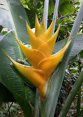 1 Rare Large Heliconia Caribaea Yellow Rhizome Tropical Plant Flower Banana Ginger NHKM45