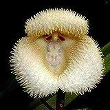 Soteer Seed House - 30pcs Singe Visage Orchidée Graine Singe Visage Orchidée Rare Fleur Graines Graines Ornementales Vivace Hardy pour Jardin Balcon/Patio