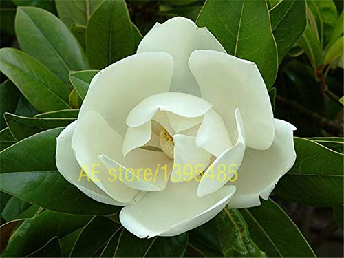 RETS SEEDS:10 PCS COLOR Yulan Magnolia Tree plant bonsai trees plant for home garden planting : 2