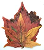 Harvest Imports 20 Pack Parchment Fall Leaves