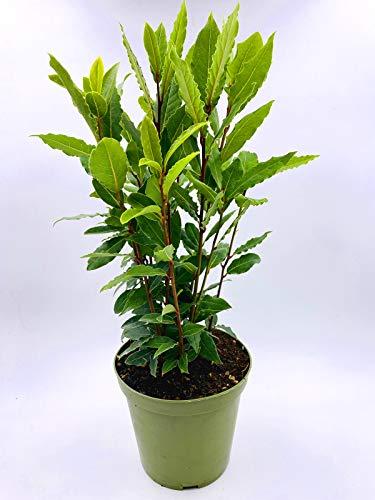 XL Gewürzlorbeer Lorbeer Laurus nobilis Nachhaltige Kräuter Pflanzen 1stk.