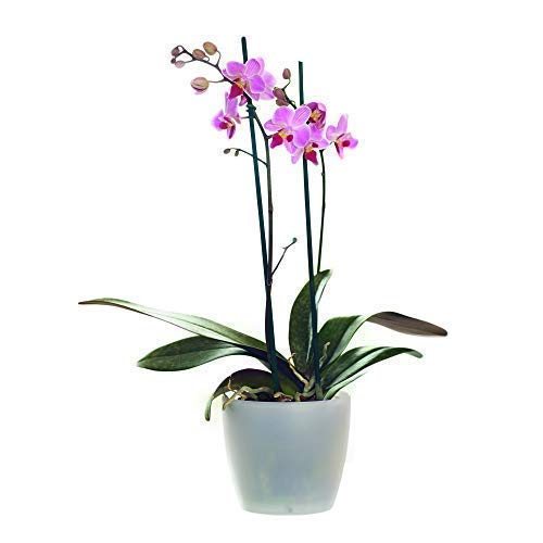 Beautiful Live Potted Twin Spiked Phalaenopsis Orchid...