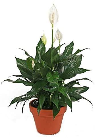Spathiphyllum, Lirio de la Paz o Espatifilo Planta Natural de 35cm en Maceta de Cerámica Ideal para Regalar
