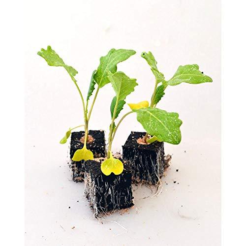 Gemüsepflanzen - Kohlrabi/Weisser - Brassica oleracea var. gongylodes - Brassicaceae - 6 Pflanzen