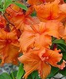 Rhododendron - Knap-Hill-Hybriden im Container 40...