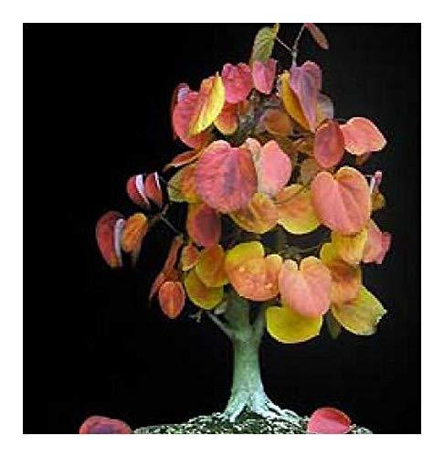 Cercidiphyllum japonicum - Arbre caramel - Bonsaï - 20 graines