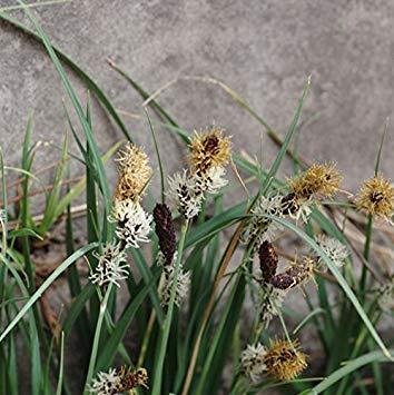 5 Samen/Beutel Carex Samen Carex Pendula Fresh Look Seed Drooping Sedge Weinende Segge Pendulous Sedge Bonsai Garden Supplies