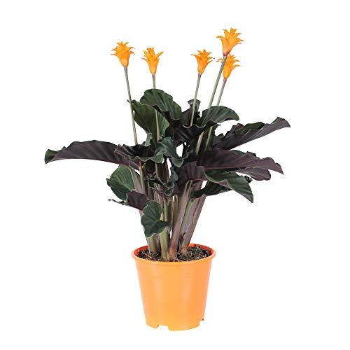 Calathea crocata | Marantaceae | Pfeilwurz mit orangenen Blüten | luftreinigende Korbmarante | Lieferhöhe 45-50cm | Topfgröße Ø 14cm