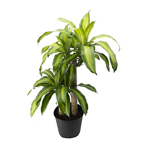 AMERICAN PLANT EXCHANGE Dracaena Massangeana Live Corn Plant Top Indoor Air Purifier, 3G, Green...