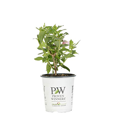 Proven Winners WEIPRC1107800 Sonic Bloom Pure Pink Live Shrub, 4.5 in. Qt