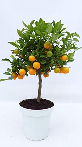 im Pflanzkübel weiß: Calamondin Orange Citrus Mitis 70-90 cm Orangenbaum Calamondino, Kalamansi