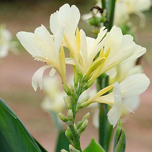 Shopmeeko 10 pcs Canna Plantes Belle Fleur Mélange de Plantes Indica Lily Plantes Jardin Ampoules Fleurs d'extérieur en Pot bonsaï Flores. Home Cadeau : Gris Clair