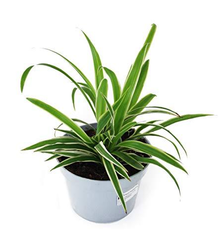 Isenzo Lebende Topfpflanze Chlorophytum...