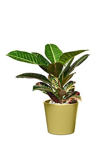 EVRGREEN | Zimmerpflanze Wunderstrauch in Hydrokultur mit violettem Topf als Set | Kroton | Croton variegatum 'Petra'