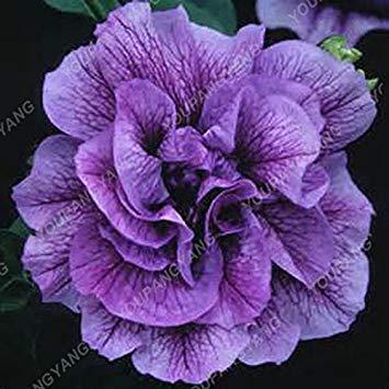 100pcs Bonsai Petunia pétales Graines couleurs mélangées Double Petunia Hybrid Seeds avec le pack professionnel jardin décoration florale Bleu Ciel