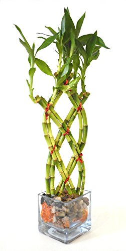 9GreenBox - Live 8 Braided Lucky Bamboo Plant Arrangement w/ Pebble & Vase Live Plant Ornament Decor for Home, Kitchen, Office, Table, Desk - Attracts Zen, Luck, Good Fortune - Non-GMO, Grown in the USA