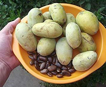 Potseed Germinación Las Semillas: 30 Semillas de la Pata Pata (Asimina triloba,...