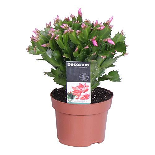 Schlumbergera | 2er Set Weihnachtskaktus | Zimmerpflanze mit lila Blüte | Höhe 25-30cm | Topf-Ø 13cm