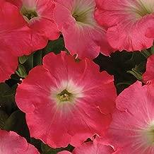 Rosy Dawn Petunia Easy Wave 10 Seeds #PG02