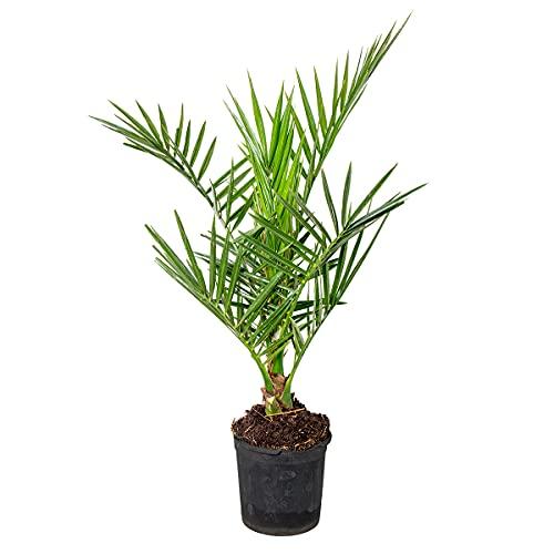 Phoenix 'Canariensis' | Kanarische Dattelpalme - Freilandpflanze im Anzuchttopf ⌀15 cm - ↕60-70 cm