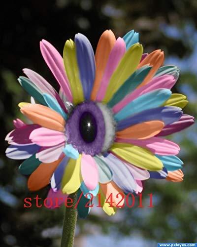 Bloom Green Co. 100 pcs/bag mix rainbow daisy seeds, chrysanthemum seeds, rare flower seeds, Natural growth for home garden planting
