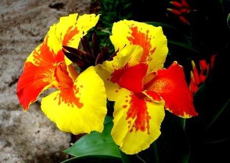 5pcs Canna indica seeds.Perennial énorme fleur en pot graines d'herbes pour rouquine maison et jardin brun plant.Lily Variété Bonsai Seed 9