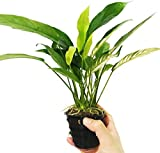 Greenpro | Anubias Lanceolata XXL Mother Pot Easy Live Aquarium Plant for Medium to Large Tank Beginner