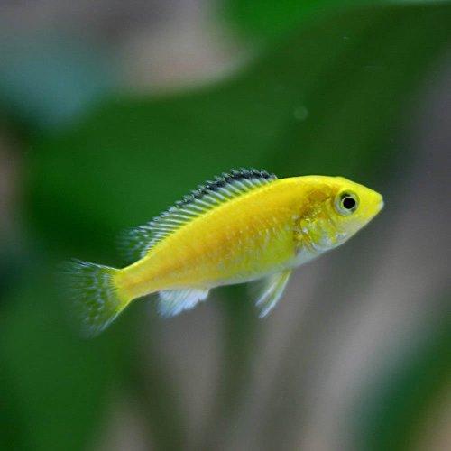 (熱帯魚)ラビドクロミス カエルレウス(約2-3cm)<4匹>[生体]