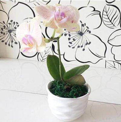 Fleur exotique Orchidée Graines Cattleya Multicolor Papillon Orchidee Bonsai Monoflord Mini jardin plante facile à cultiver 200 pcs/sac 3