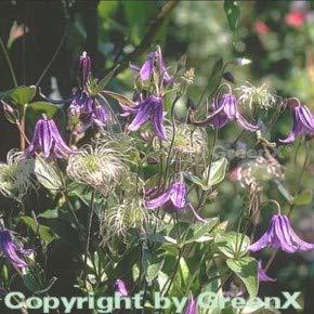 Staudenclematis - Clematis integrifolia