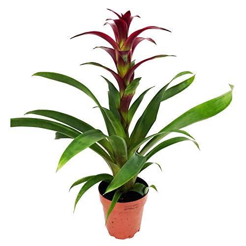Pflanzen Kölle Guzmanie, Guzmania 'Indian Night', dunkellila, Gesamthöhe ca. 50 cm